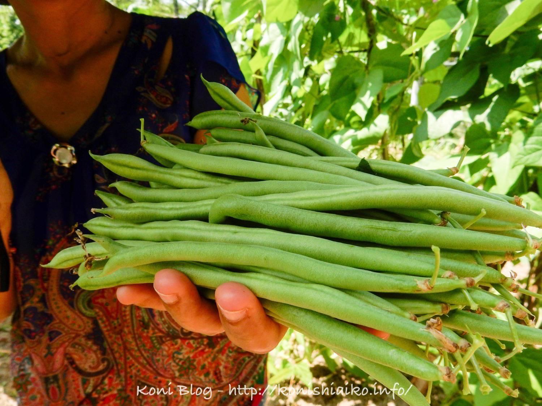 バリ島インゲン豆の畑