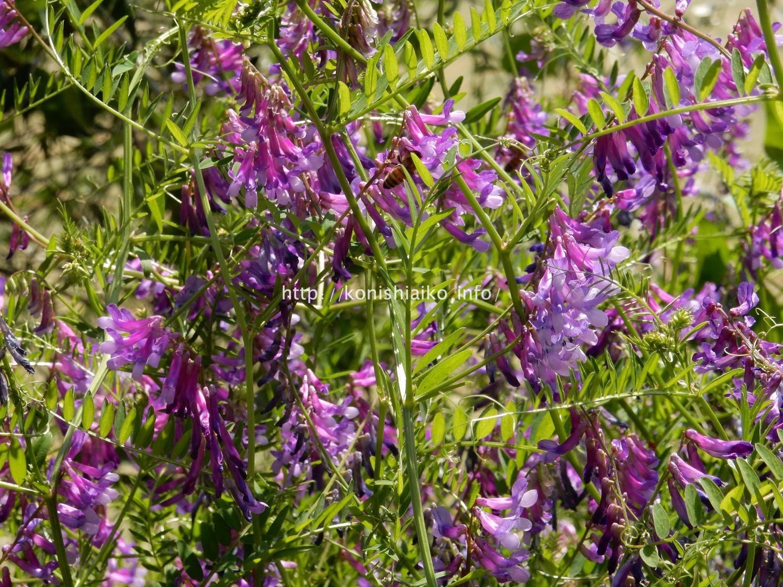 イタリア5月の花