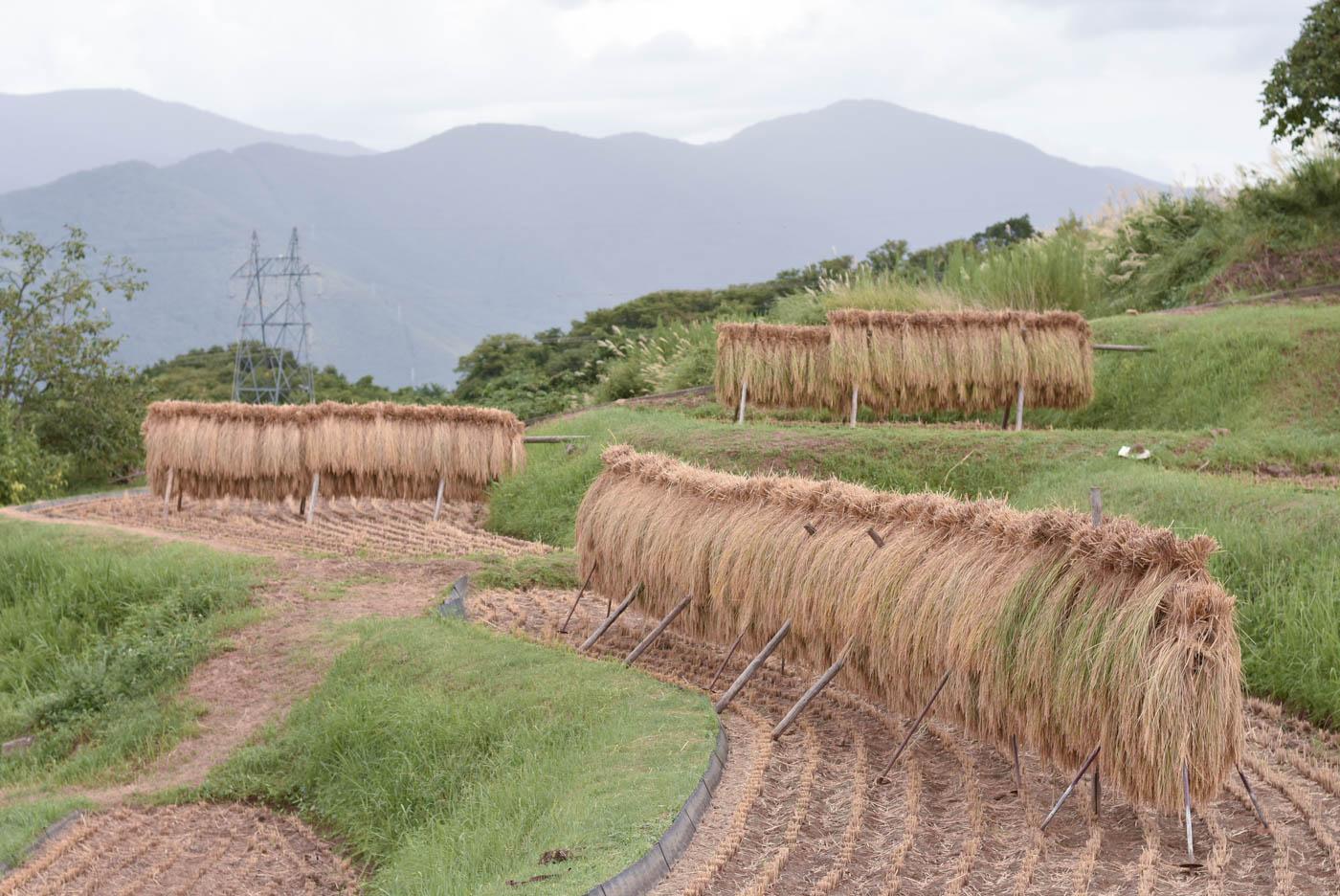 稲刈りが始まっていました