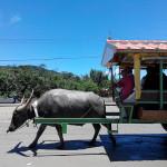 【西表島3】水牛車に揺られて由布島(ゆぶじま)へ