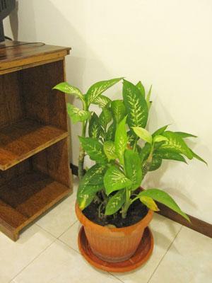 バリ島観葉植物