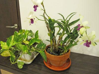 バリ島植物1
