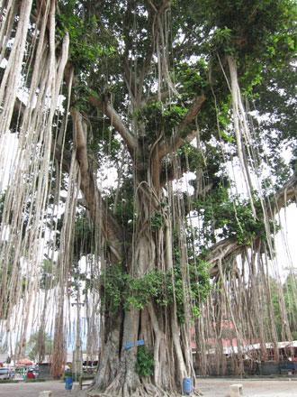 ムンドッ寺院のパワースポット・ガジャマルの木